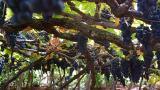 Vineyard&#10Luogo: Calheta&#10Photo: Turismo da Madeira