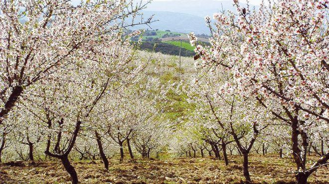 Almond blossom Photo: AT Porto and the North