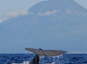 アソーレス諸島でクジラとイルカのウォッチング