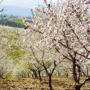 Almond blossom Photo: AT Porto and the North