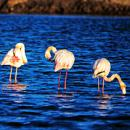 Flamingos Local: Ria Formosa Foto: Turismo do Algarve