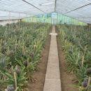 pineapples in Europe?