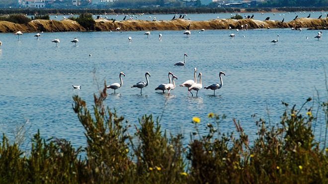 Flamingos&#10Lugar Ria Formosa&#10Foto: Turismo do Algarve