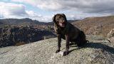 Cão de Castro Laboreiro - Parque Nacional da Peneda-Gerês&#10Lieu: Melgaço&#10Photo: CM Melgaço