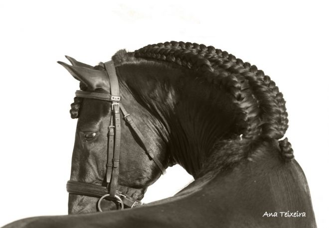 Cavalo do Rei - O Puro Sangue Lusitano